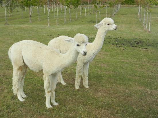 Kepler Mountain View: Jessie's alpacas