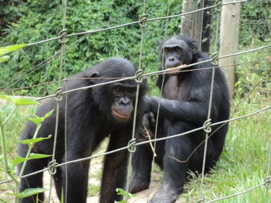 Kinshasa, República Democrática del Congo: Nos amis les bonobos