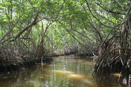 Mangroves of Dzinitun: La mangrove