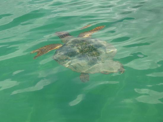 Sian Ka'an, Mexico: Une tortue en liberté