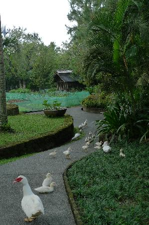 Lipa City, Filippinerna: organic produce with ducks roaming around -they must feel safe here - no foie gras in the farm!