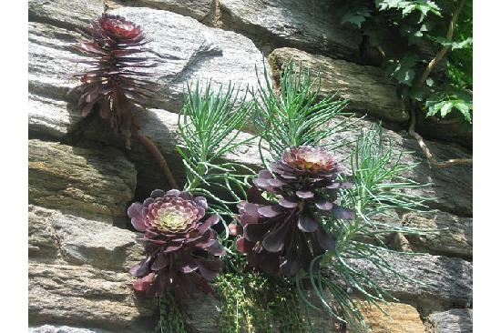 Chanticleer: pretty pine cone-looking plant growing out of the wall