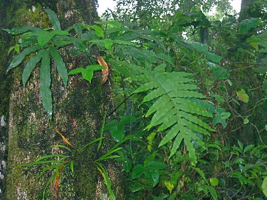 Cloud Forest Botanicals: Calagala Fern. Powerful healing rain forest plant.
