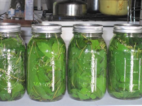 Cloud Forest Botanicals: Anamu tincture. Powereful anti-inflammatory rain forest medicine