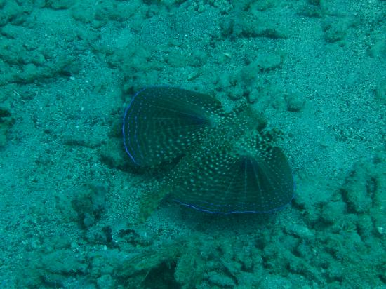 Grand Anse, Grenada: Beautiful Winged Fish
