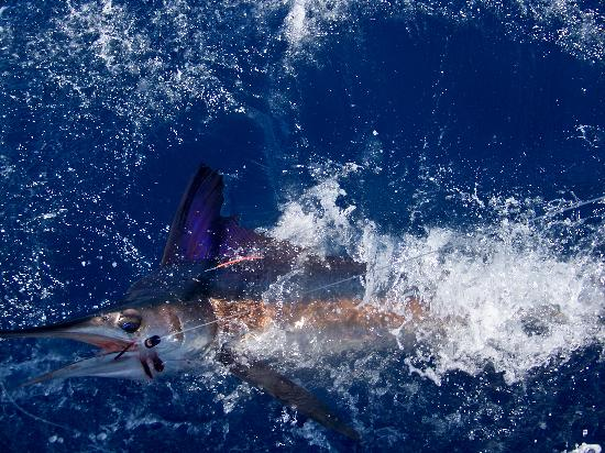True Blue Sportfishing: A Beautiful White Marlin