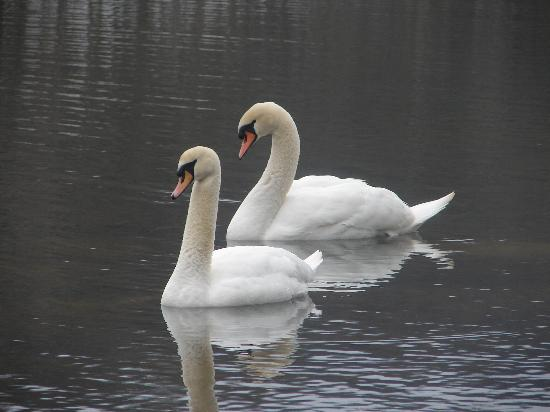 Wasatch Lake Resort: Beautiful swans!