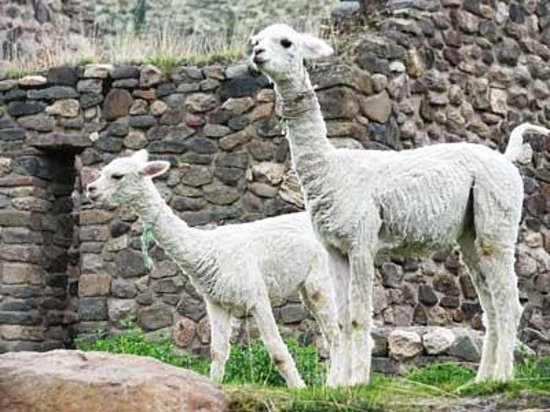 Янке, Перу: llamas grace the site