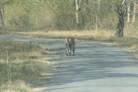 Tiger on the main road to Tamara - Picture of Tamara