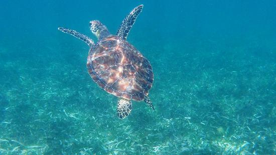Grand Paradise Samana : sea turtle, about 100m from hotel beach