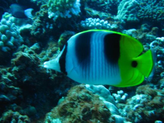 Coral Gardens: un poisson