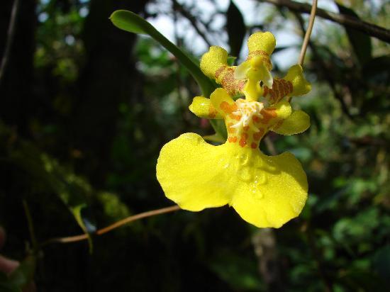 Santa Elena, Costa Rica: Oncidium sp.