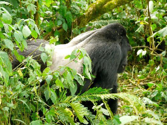 Bwindi Impenetrable National Park: Silberrücken
