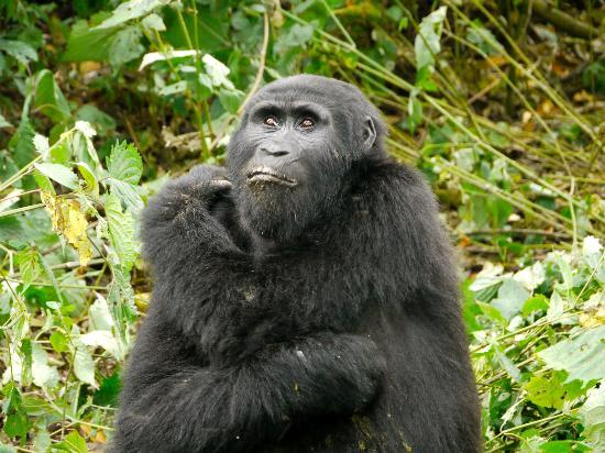 Bwindi Impenetrable National Park: Mitglied der Rushegura-Gruppe