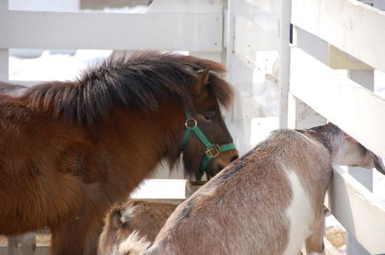 Remick Country Doctor Museum & Farm : Miniature Horse