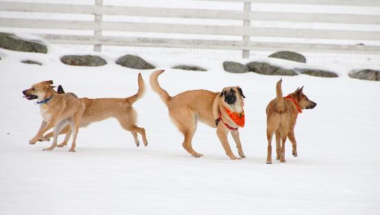 Remick Country Doctor Museum & Farm : Chinook dogs at Carnival