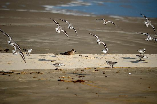 Padre Island National Seashore: birds at the beach