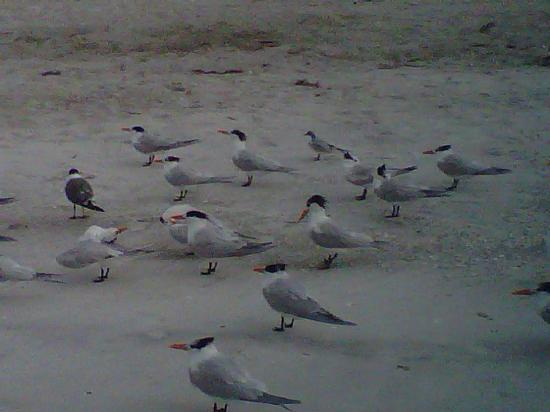 The Diplomat Condominium Beach Resort: Local shorebirds