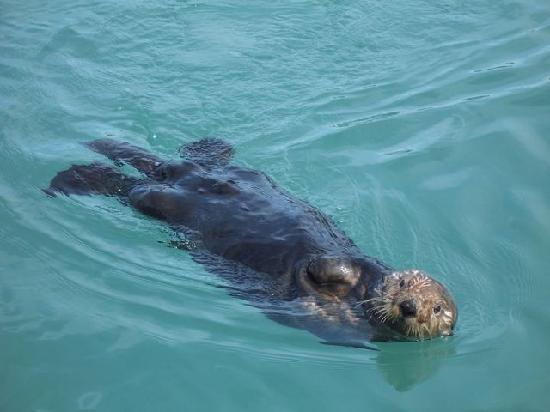 Orca Island Cabins: Sea Otter near island