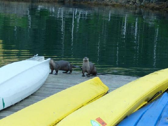 ‪‪Orca Island Cabins‬: River Otters on dock at Orca Island Cabins‬
