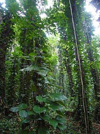 Udawattekele Sanctuary: Devil's Ivy Infestation