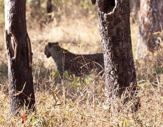 Tiger Trails: Leopard at dawn in Tadoba