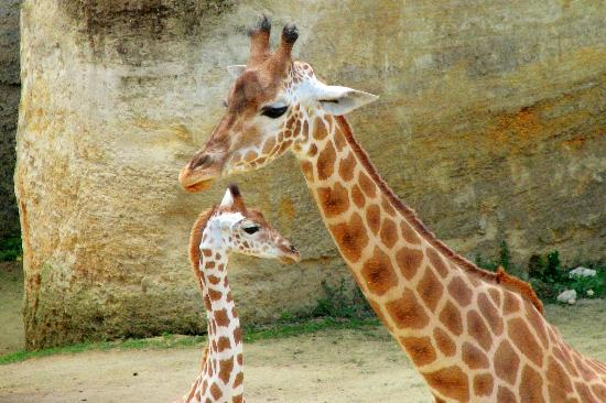 Mother And Baby Giraffe Picture Of Bioparc Doue La Fontaine