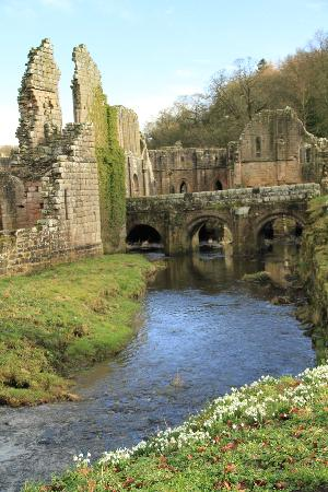 Fountains Abbey and Studley Royal Water Garden: Snowdrops on the bank of River Skell, Fountains Abbey