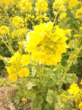 Awaji, Japón: 菜の花