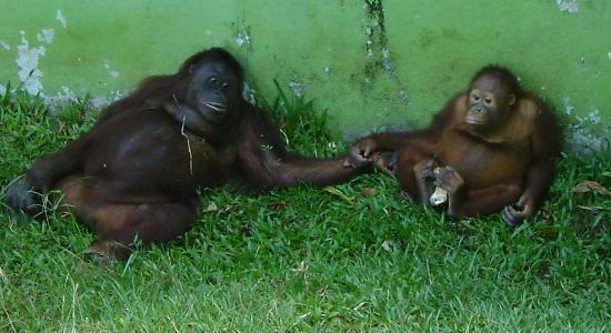 Matang Wildlife Centre: Orang Utan