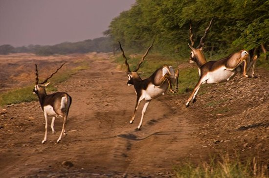 Bhavnagar, India: Blackbucks on the run