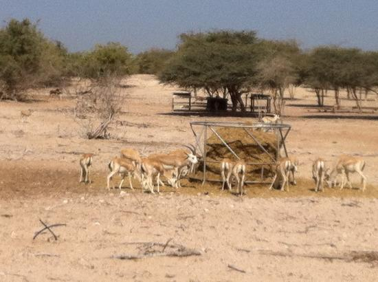 Sir Bani Yas Island, De forente arabiske emirater: wildlife safari