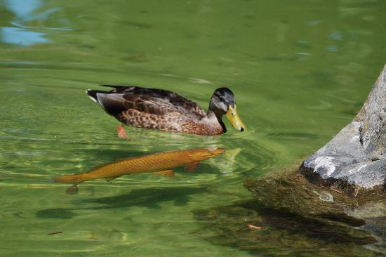 Manito Park : Japanese Garden - ducks and koi