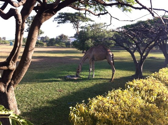 Homa Bay, Kenia: Camel in the grounds.