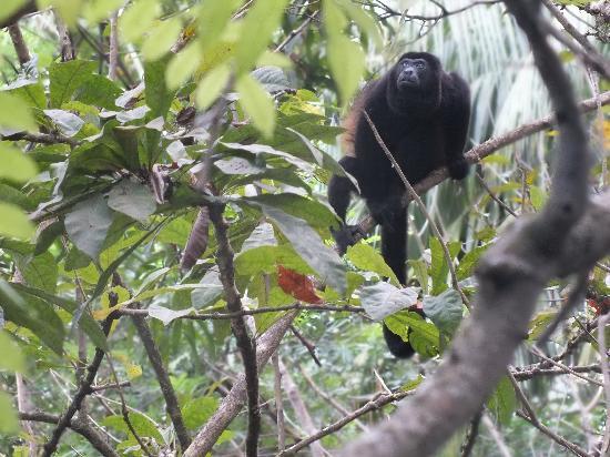 Luz en el Cielo Eco-B&B/Hostel: Howler Monkey