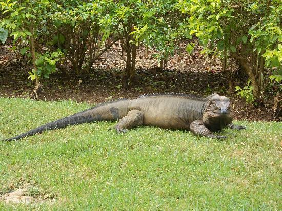 Viva Wyndham Dominicus Palace - An All-Inclusive Resort: Iguana all'interno del villaggio.... la loro mascotte.... buonissimo si fa anche accarezzare....