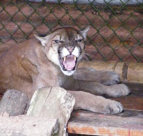Summit Botanical Gardens: Puma