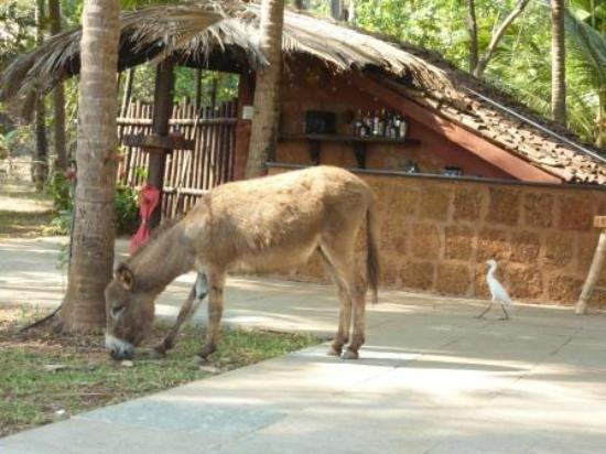 Olaulim Backyards: Mantra, the donkey in front of the bar area