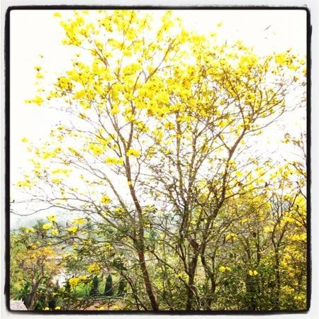 Canary Natural Resort: Yellow trumpet