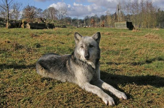 Beenham, UK: Mai, one of our North American wolves