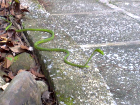 Permai Rainforest Resort: snake