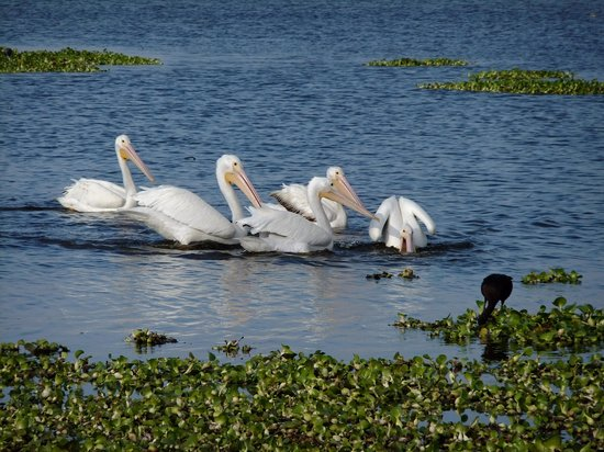Myakka River State Park: Beautiful white pelicans !!