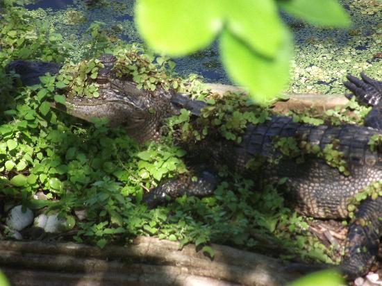Lettuce Lake Regional Park : American alligator