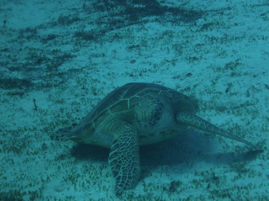 Obyan Beach : アオウミガメ