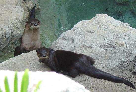 Museum of Discovery and Science: Otters At Play
