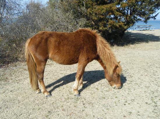 Maryland: Pony
