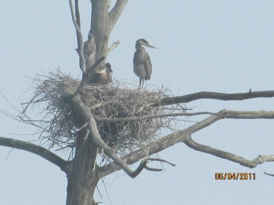 Cornell Lab of Ornithology: Heron nest closeup at Main Pond
