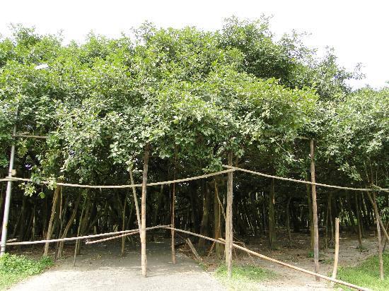Howrah, India: Acharya Jagadish Chandra Bose Indian Botanic Garden