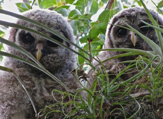 Mahogany Hammock : Baby barred owls in the tree
