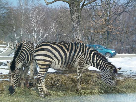 Safari Park : Zebre